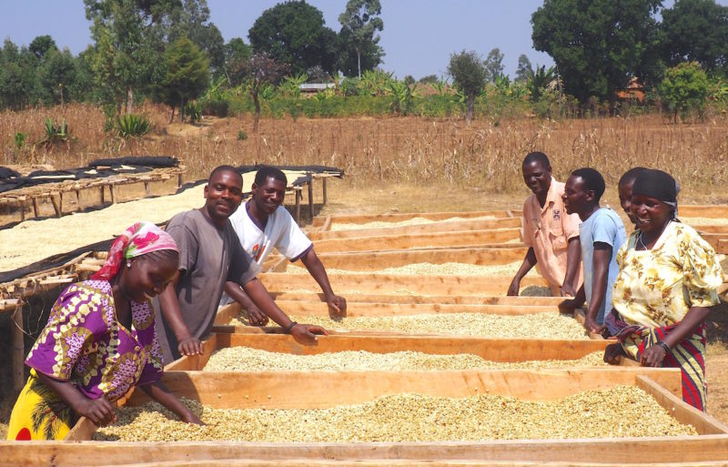 Drying coffee parchment in Tanzania