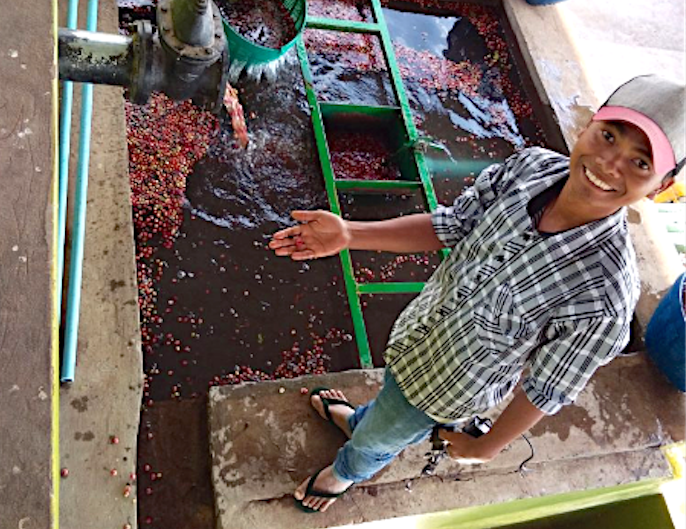 Fresh crop Myanmar coffee from the Mandalay Coffee Group.
