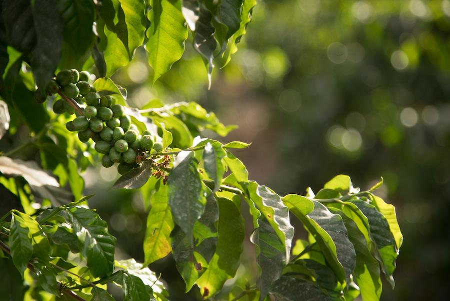 Kenya green coffee
