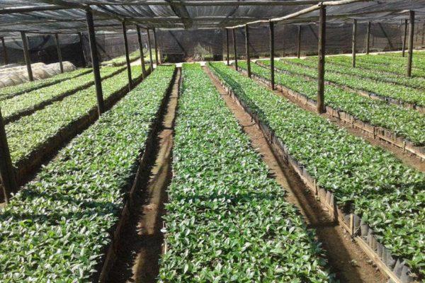 Zimbabwe coffee nursery