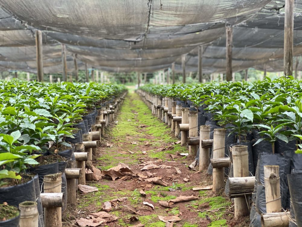 Jumbo seedlings in the Fazenda da Lagoa nursery.