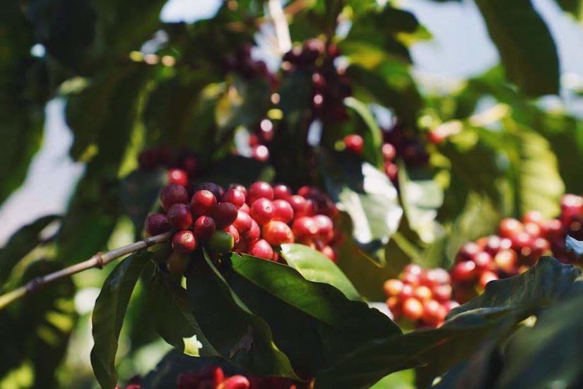 Coffee cherries in Chiapas, Mexico.