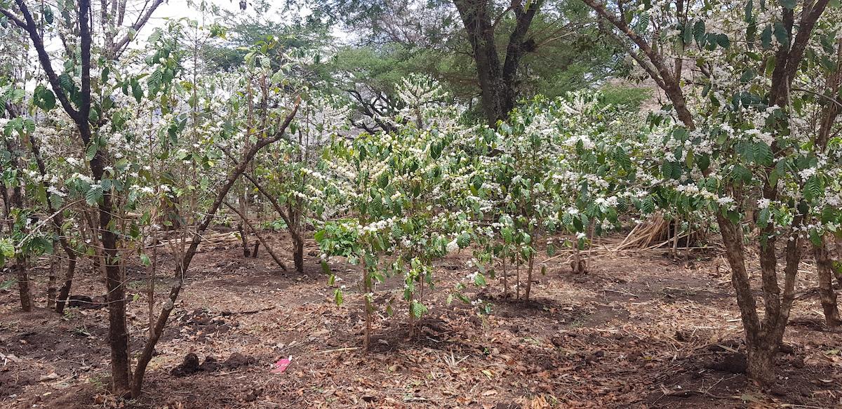 Tutta Klanisa cooperative coffee trees